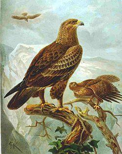 Aigle pomarin (Aquila pomarina)