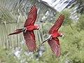 Ara chloropterus -Manu National Park, Peru -flying-8.jpg