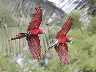 https://upload.wikimedia.org/wikipedia/commons/thumb/4/4f/Ara_chloropterus_-Manu_National_Park%2C_Peru_-flying-8.jpg/320px-Ara_chloropterus_-Manu_National_Park%2C_Peru_-flying-8.jpg