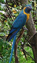 A blue parrot with a white eye-patch and a yellow throat, cheeks, and underside