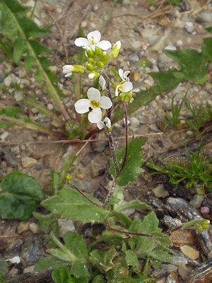 Arabis alpina - Image: Arabis alpina