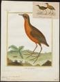Aramides viridis - 1700-1880 - Print - Iconographia Zoologica - Special Collections University of Amsterdam - UBA01 IZ17500055.tif