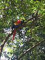 Arara da Amazonia.jpg