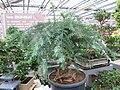 Araucaria cunninghamii bonsai.jpg