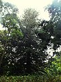 Araucaria heterophylla2 (Ponta Delgada).JPG