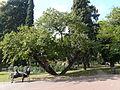 Arbre de l'amor - parc de Vil·la Amèlia P1280072.jpg