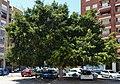 Arbre prop de la Creu Coberta, València.JPG