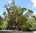 Arbutus unedo in Christchurch Botanic Gardens 01.jpg