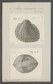 Arca rhombea - - Print - Iconographia Zoologica - Special Collections University of Amsterdam - UBAINV0274 076 04 0018.tif