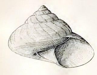<i>Archiminolia</i> genus of molluscs