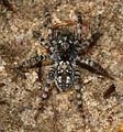 Arctosa sp. - a bear-spider - Flickr - S. Rae.jpg