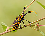 Tufted long-horned Beetle