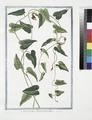 Aristolochia Pistolochia altera (NYPL b14444147-1125112).tiff