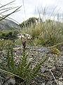 Arjona patagonica-general view.JPG