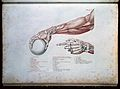 Arm illustration, from Anatomie du Gladiateur. Wellcome L0011869.jpg