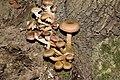 Armillaria mellea-DSC 0241.jpg