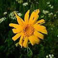 Arnica-montana-capitulum.jpg