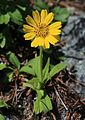 Arnica unalascensis var. tschonoskyi (Mount Tsurugi).JPG
