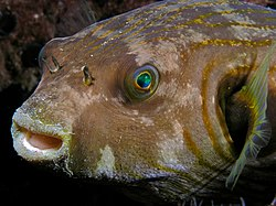 Arothron hispidus (Stars and stripes toadfish).jpg