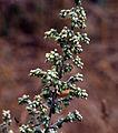 Artemisialudoviciana.jpg