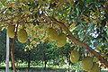 Artocarpus heterophyllus1.JPG