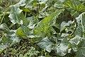 Arum maculatum-0042.jpg