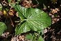 Arum maculatum leaf 2.jpg