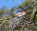 As-throated Flycatcher. Myiarchus cinerascens - Flickr - gailhampshire.jpg