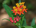 Asclepias curassavica (Mexican Butterfly Weed) W IMG 1570.jpg