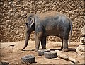 Asian-Elephant-Jerusalem-Jerusalem-Biblical-Zoo-IZE-292.jpg