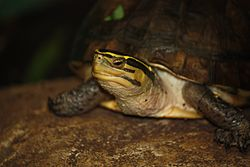 Asian Box Turtle001.jpg