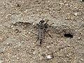 Asilidae Robber fly IMG 7528.jpg