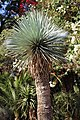 Asparagales - Yucca rostrata - 1.jpg