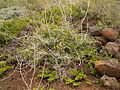 Asparagus umbellatus (La Fajana) 07 ies.jpg