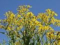 Asteraceae sp.-IMG 5577.jpg