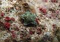 Asterinidae à déterminer 3.jpg
