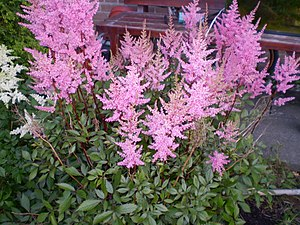 Perennial Flowers That Like Shade
