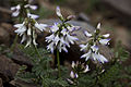 Astragalus alpinus (7833183330).jpg