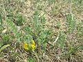 Astragalus exscapus sl9.jpg