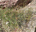 Astragalus remotus 10.jpg