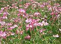 Astragalus sinicus ja Renge01.jpg