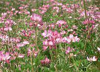 Astragalus sinicus ja Renge01