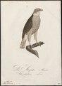 Astur palumbarius - 1800-1812 - Print - Iconographia Zoologica - Special Collections University of Amsterdam - UBA01 IZ18300005.tif