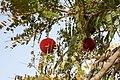 Atakora-Parkia biglobosa (7).jpg