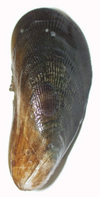 Atlantic ribbed mussel