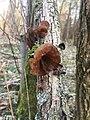 Auricularia auricula-judae 77762412.jpg