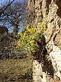 Aurinia saxatilis sl6.jpg