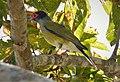 Australasian Figbird. Sphecotheres vieilloti , male (48623864657).jpg