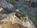 Australian-lizard.JPG
