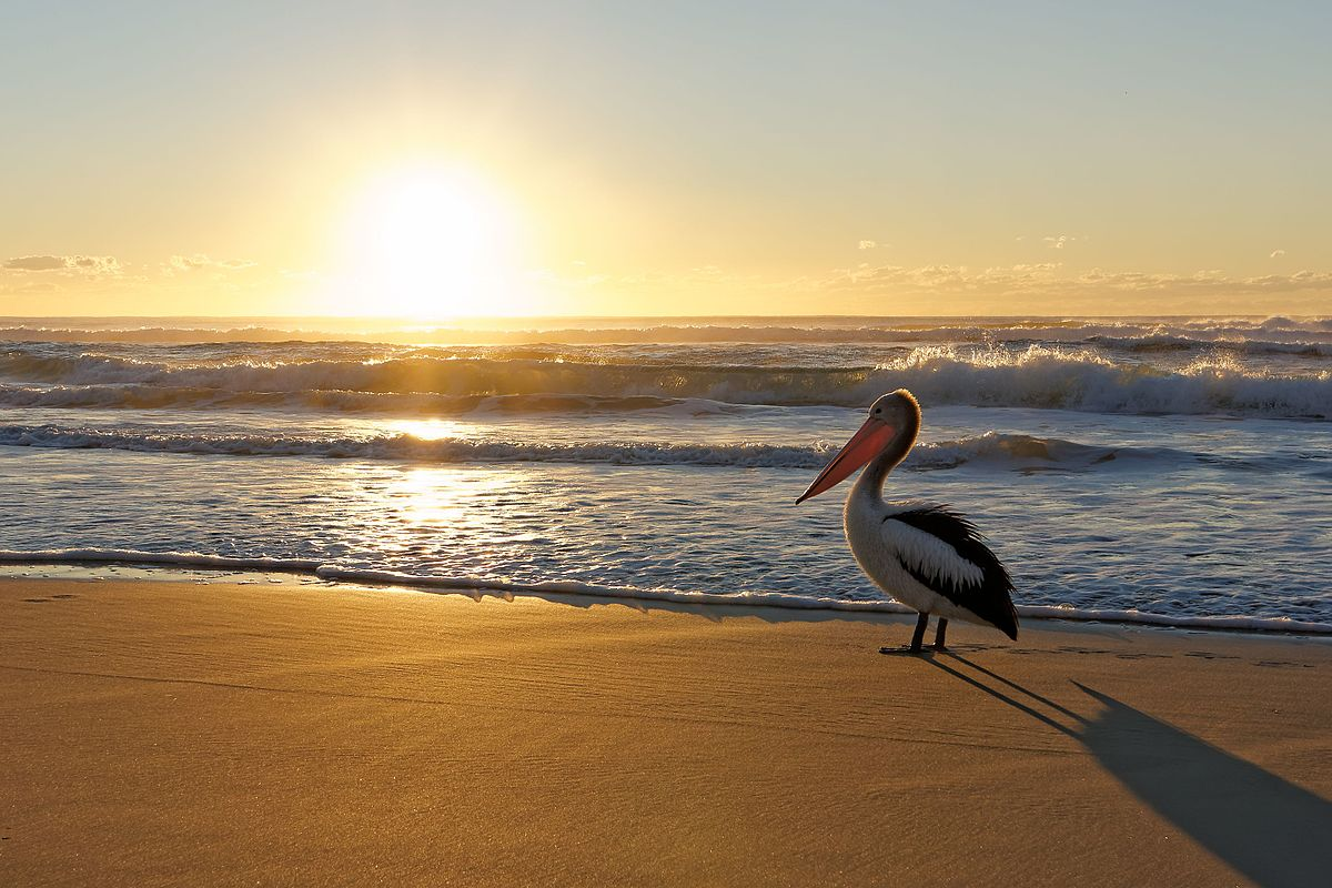 Australian Pelican watching beach sunrise.jpg